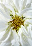 White aster Royalty Free Stock Photography