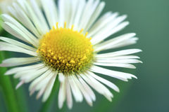 White Aster Daisy Royalty Free Stock Images