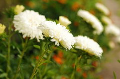 White aster. At flower bed close up Royalty Free Stock Images