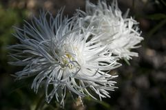 White aster flower is growing on the autumn flower-bed.  Stock Photography