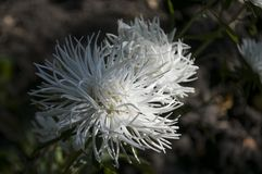 White aster flower is growing on the autumn flower-bed.  Royalty Free Stock Images