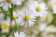 White Aster flower Stock Image