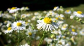 White Aster Flower Stock Photo