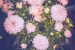 White Aster Flowers Stock Photo