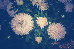White Aster Flowers Stock Images