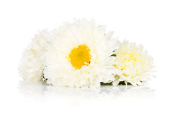 White aster flowers Royalty Free Stock Images