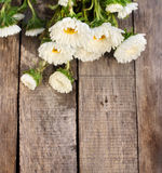 White aster flowers Royalty Free Stock Image