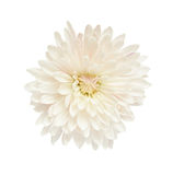 White aster Royalty Free Stock Image