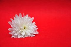 A white aster. On a red background stock photos