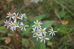 White Aster. Some blossoms of the White Wood Aster Royalty Free Stock Photos
