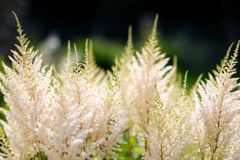 White astilbe flowers Royalty Free Stock Photo