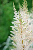 White Astilbe Flowers on Flower Bed Royalty Free Stock Images