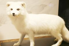 White artic fox in natural science museum, Taichung at Taiwan royalty free stock photography