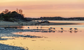 White Australian Ibis feeding. Sunrise, Australia. Royalty Free Stock Photography