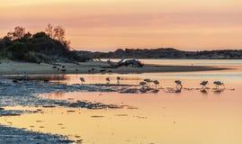 White Australian Ibis feeding. Sunrise, Australia. Royalty Free Stock Photography