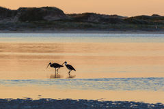 White Australian Ibis feeding. Sunrise, Australia. Stock Photography