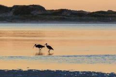 White Australian Ibis feeding. Sunrise, Australia. Stock Photography