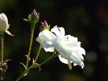 White Autum Rose Stock Photos