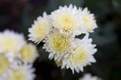 White autumn chrysanthemum. Full bud. Beautiful flowers. stock image