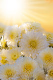 White autumnal chrysanthemum background Royalty Free Stock Images