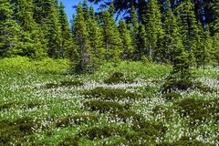White Avalanche Lilies Wildflowers Mount Rainier Paradise. White Avalanche Lilies Erythronium montanum Wildflowers Mount Rainier National Park Paradise Pacific Royalty Free Stock Photography