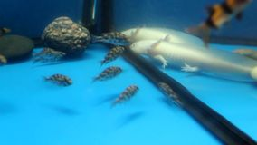 White Axolotl (Ambystoma mexicanum) and aquarium f stock video footage