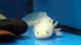 White Axolotl (Ambystoma mexicanum) stock footage