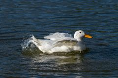 White Aylesbury duck also known as Pekin or Long Island Duck preening feathers and splashing water stock images