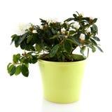 White Azalea Royalty Free Stock Image