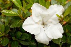 White Azalea Royalty Free Stock Images