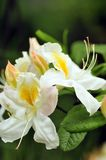 White azalea Stock Photo