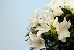 White Azalea Stock Photography