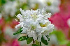 White Azalea Blooms Royalty Free Stock Image