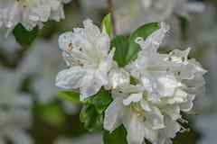 White Azalea Blooms Royalty Free Stock Photography