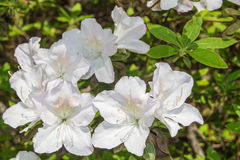 White Azalea Blossoms Blooming in a Mountain Park Royalty Free Stock Photos