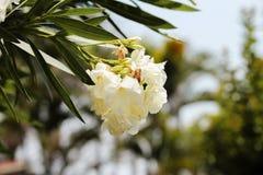 White azalea flower stock images