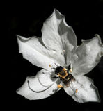 White Azalea Flower with Bumble Bee Royalty Free Stock Image