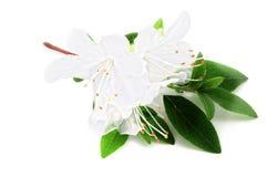 White azalea flowerheads on white  background. Stock Photography