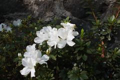 White Azalea flowers Stock Photo