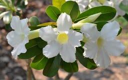 White azalea flowers. Royalty Free Stock Photos