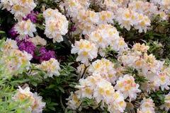 White azalea, Rhododendron bush in blossom Stock Images