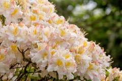 White azalea, Rhododendron bush in blossom Royalty Free Stock Photos