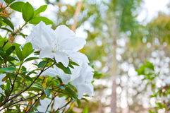 The white Azalea or Rhododendron Royalty Free Stock Image
