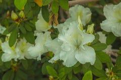 White azalea variety Royalty Free Stock Photo