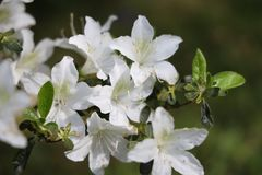 White azalea. Blossom in spring, london stock photography