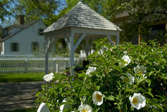 White Azaleas. A bush of blooming Azaleas in front of a row of picturesque homes Stock Photography