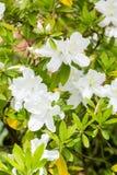 White Azaleas Stock Photography
