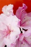 White Azalia petals macro in a red bowl Royalty Free Stock Photo