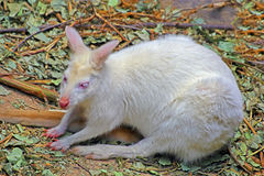 White baby albino wallaby Stock Photography