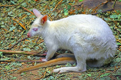 White baby albino wallaby Stock Photos